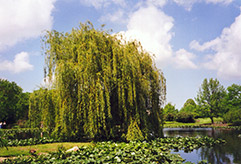 Golden Weeping Willow (Salix alba 'Tristis') at Maidstone Tree Farm