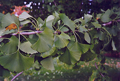 Ginkgo (Ginkgo biloba) at Maidstone Tree Farm