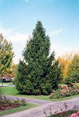 Norway Spruce (Picea abies) at Maidstone Tree Farm