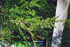 Canadian Hemlock (Tsuga canadensis) at Maidstone Tree Farm