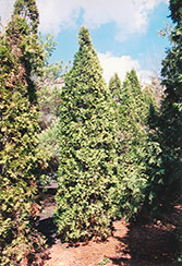 Pyramidal Arborvitae (Thuja occidentalis 'Fastigiata') at Maidstone Tree Farm
