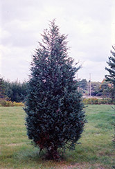 Moffett Juniper (Juniperus scopulorum 'Moffettii') at Maidstone Tree Farm
