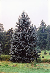 Hoopsii Blue Spruce (Picea pungens 'Hoopsii') at Maidstone Tree Farm