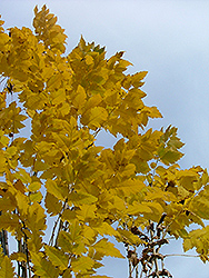 Golden Candle Golden Rain Tree (Koelreuteria paniculata 'Gocanzam') at Maidstone Tree Farm