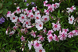 Laura Moss Phlox (Phlox subulata 'Laura') at Maidstone Tree Farm