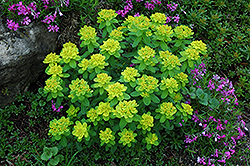 Cushion Spurge (Euphorbia polychroma) at Maidstone Tree Farm