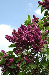 Charles Joly Lilac (Syringa vulgaris 'Charles Joly') at Maidstone Tree Farm