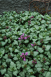 Red Nancy Spotted Dead Nettle (Lamium maculatum 'Red Nancy') at Maidstone Tree Farm