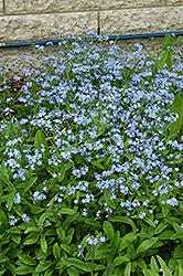 Forget-Me-Not (Myosotis sylvatica) at Maidstone Tree Farm
