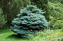 Globe Blue Spruce (Picea pungens 'Globosa') at Maidstone Tree Farm