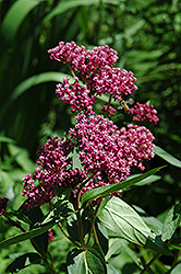 Swamp Milkweed (Asclepias incarnata) at Maidstone Tree Farm