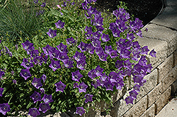 Blue Clips Bellflower (Campanula carpatica 'Blue Clips') at Maidstone Tree Farm