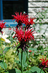 Jacob Cline Beebalm (Monarda 'Jacob Cline') at Maidstone Tree Farm