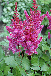 Visions Astilbe (Astilbe chinensis 'Visions') at Maidstone Tree Farm