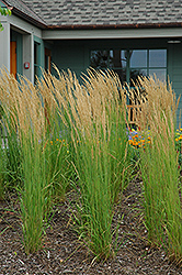 Karl Foerster Reed Grass (Calamagrostis x acutiflora 'Karl Foerster') at Maidstone Tree Farm