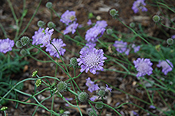 Butterfly Blue Pincushion Flower (Scabiosa 'Butterfly Blue') at Maidstone Tree Farm
