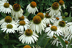 White Swan Coneflower (Echinacea purpurea 'White Swan') at Maidstone Tree Farm