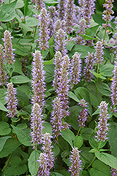 Blue Fortune Anise Hyssop (Agastache 'Blue Fortune') at Maidstone Tree Farm