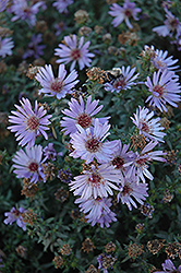 Woods Blue Aster (Aster 'Woods Blue') at Maidstone Tree Farm