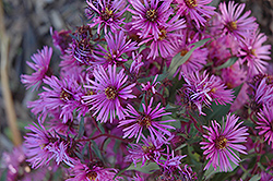 Woods Pink Aster (Aster 'Woods Pink') at Maidstone Tree Farm