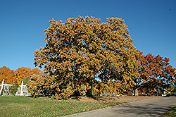 Bur Oak (Quercus macrocarpa) at Maidstone Tree Farm