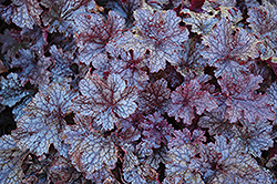 Plum Pudding Coral Bells (Heuchera 'Plum Pudding') at Maidstone Tree Farm