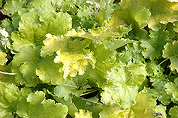 Lime Rickey Coral Bells (Heuchera 'Lime Rickey') at Maidstone Tree Farm