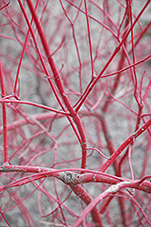 Siberian Dogwood (Cornus alba 'Sibirica') at Maidstone Tree Farm