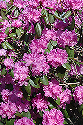 P.J.M. Rhododendron (Rhododendron 'P.J.M.') at Maidstone Tree Farm