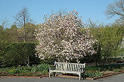 Leonard Messel Magnolia (Magnolia x loebneri 'Leonard Messel') at Maidstone Tree Farm