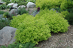 Goldmound Spirea (Spiraea japonica 'Goldmound') at Maidstone Tree Farm