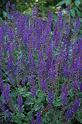 May Night Sage (Salvia x sylvestris 'May Night') at Maidstone Tree Farm
