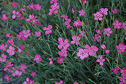 Maiden Pinks (Dianthus deltoides) at Maidstone Tree Farm