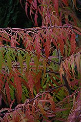 Tiger Eyes® Sumac (Rhus typhina 'Bailtiger') at Maidstone Tree Farm
