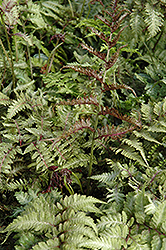Japanese Painted Fern (Athyrium nipponicum 'Metallicum') at Maidstone Tree Farm