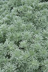 Silver Mound Artemesia (Artemisia schmidtiana 'Silver Mound') at Maidstone Tree Farm
