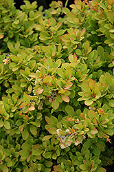 Sunsation Japanese Barberry (Berberis thunbergii 'Sunsation') at Maidstone Tree Farm