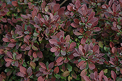 Royal Burgundy Japanese Barberry (Berberis thunbergii 'Gentry') at Maidstone Tree Farm