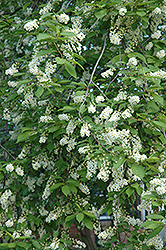 Schubert Chokecherry (Prunus virginiana 'Schubert') at Maidstone Tree Farm