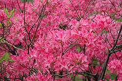 Northern Lights Azalea (Rhododendron 'Northern Lights') at Maidstone Tree Farm