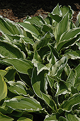 White-Variegated Hosta (Hosta undulata 'Albomarginata') at Maidstone Tree Farm