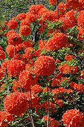 Mandarin Lights Azalea (Rhododendron 'Mandarin Lights') at Maidstone Tree Farm