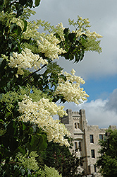Ivory Silk Japanese Tree Lilac (Syringa reticulata 'Ivory Silk') at Maidstone Tree Farm