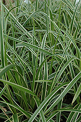 Ice Dance Sedge (Carex morrowii 'Ice Dance') at Maidstone Tree Farm