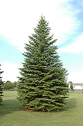 Colorado Spruce (Picea pungens) at Maidstone Tree Farm