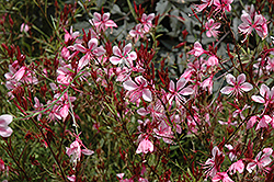 Butterfly Gaura (Gaura lindheimeri) at Maidstone Tree Farm