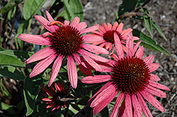Big Sky Twilight Coneflower (Echinacea 'Big Sky Twilight') at Maidstone Tree Farm