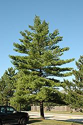 White Pine (Pinus strobus) at Maidstone Tree Farm
