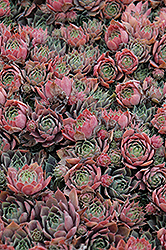 Purple Beauty Hens And Chicks (Sempervivum 'Purple Beauty') at Maidstone Tree Farm