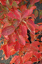 Autumn Brilliance Serviceberry (Amelanchier x grandiflora 'Autumn Brilliance') at Maidstone Tree Farm